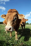 Friendly Limousin Bull. A gentle friendly Limousin bull investigates the camera, close up head shot Royalty Free Stock Photo