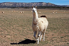 Friendly Llama. A curious llama comes in close to see what's up Royalty Free Stock Photos