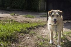Friendly Looking Mongrel Dog. Friendly looking tethered mongrel dog, guarding a backyard Stock Photos