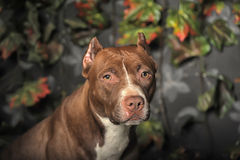 Pit Bull Terrier Royalty Free Stock Photo