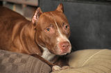 Pit Bull Terrier Royalty Free Stock Images