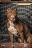 Pit Bull Terrier Royalty Free Stock Photos