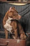 Pit Bull Terrier Stock Image