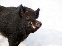 Friendly male boar Royalty Free Stock Photography