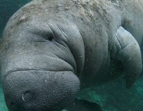Friendly Manatee Stock Images