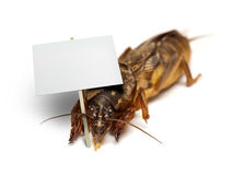 A bug - mole cricket - holding blank sign. Lawn pest European mole cricket - Gryllotalpa gryllotalpa - demonstrating holding blank banner with space for message Royalty Free Stock Photos