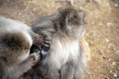Friendly monkey preening friend Stock Image