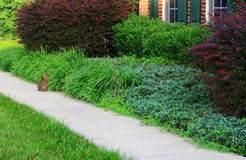 Wild Rabbit. Sitting in Peaceful Morning at  front of house with landscaping Stock Photography