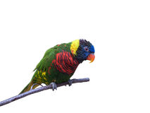 Friendly parrot sitting. On branch on pure white background Stock Image