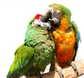 Friendly Parrots. Couple of colorful parrots playing Stock Photo