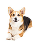 Friendly Pembroke Welsh Corgi Dog Laying Royalty Free Stock Photo