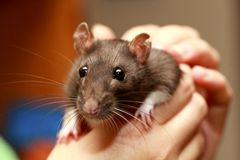Friendly pet brown rat in human hand, animals at home Royalty Free Stock Images