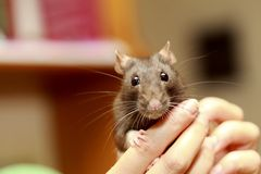 Friendly pet brown rat in human hand, animals at home Royalty Free Stock Image