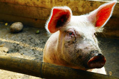 Friendly pig colorful and beautiful Royalty Free Stock Photo