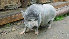 Friendly pig on a farmstead Stock Photo