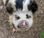 Friendly Pig Royalty Free Stock Photos