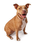 Friendly Pit Bull. Dog isolated on white Stock Photos