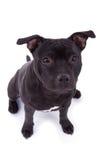 Friendly Pit bull dog Royalty Free Stock Image