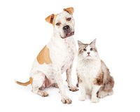 Friendly Pit Bull Dog and Pretty Cat Stock Image