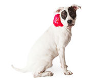 Friendly Pit Bull With Flower Collar Royalty Free Stock Images