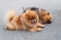 Friendly Pomeranian dogs royalty free stock image