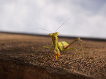 Friendly Praying Mantis Royalty Free Stock Image