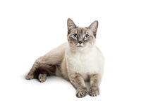 Friendly Pretty Cat Lying on White. Friendly cat with happy expression lying down on white background Royalty Free Stock Photography