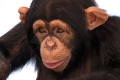 Friendly Primate. Closeup of a Chimpanzee isolated against a white background Stock Photos