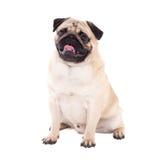 Friendly pug dog sitting isolated on white Stock Photo