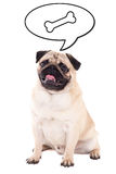Friendly pug dog sitting and thinking about food  on whi Stock Photography