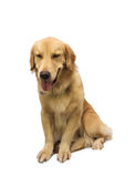 Friendly Pure Breed Retriever Royalty Free Stock Image