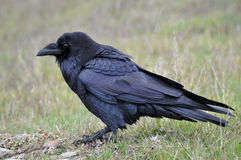 Friendly Raven Royalty Free Stock Photos