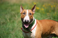 Friendly red and white bull terrier portrait Royalty Free Stock Photos