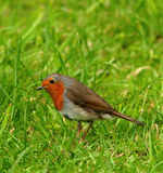 Friendly Robin. Robin standing on the grass stock images