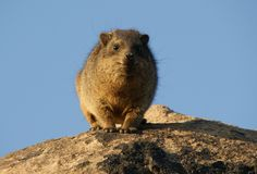 Friendly Rock Dassie stock photo