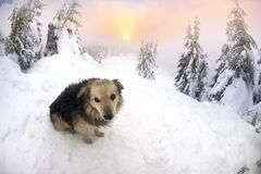 Dogs in the snowstorm mountains. Friendly rural dog are escorted into the storm and fog of climbers tourists in the Carpathians for the New Year during the stock photography