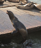 Friendly Sea Lion on Pier 39 Royalty Free Stock Photos