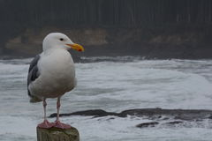 Friendly Seagull royalty free stock photography