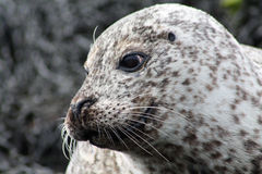 Friendly seal Royalty Free Stock Photos