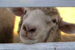 Friendly Sheep Stock Images