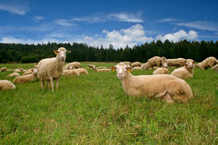 Friendly Sheep. Mother sheep with lambs on the beautiful green hill Royalty Free Stock Photos
