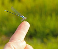 Friendly Short-stalked damselfly Stock Photo