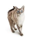 Friendly Siamese Cat Walking Forward Royalty Free Stock Photo