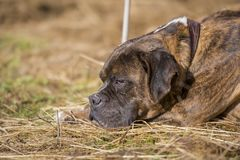 Lovely Boxer dog lying on the straw stock images