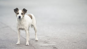 Friendly small stray dog on the street. Looking straight Royalty Free Stock Photos