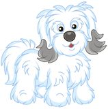 Shaggy Bichon Avanese dog stock photo