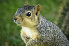 Friendly Squirrel Stock Images