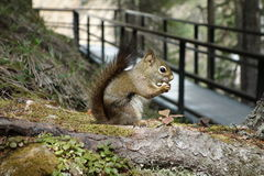A friendly squirrel in a mountain forest. Stock Images
