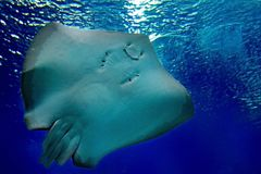 friendly stingray is smiling under water in the sea. Underwater observatory on the Red Sea, Eilat Israel royalty free stock photography
