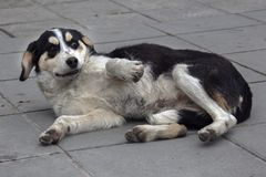A friendly street dog in Velingrad, Bulgaria. Dog in a funny pose. stock image